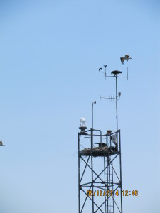 Keep an eye open for returning birds.  The osprey will be back soon. This pair was nesting on Coast Guard navigational aids on Lake Champlain.