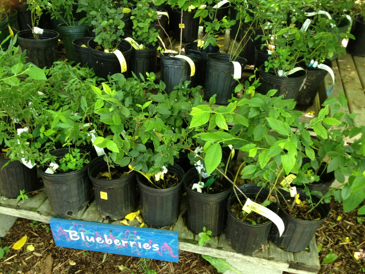 Blueberries at Elmore Roots Nursery