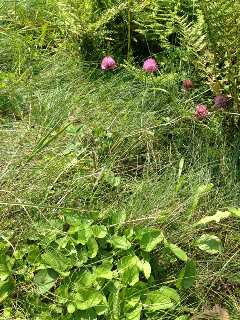 Red clover and violets