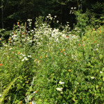 Daisy fleabane and jewel weed